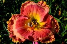Daylily Seeds (Opportunity Knocks x All The Rave) (10) Seeds