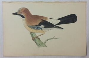Jay. History of British Birds. Morris. Circ. 1880.