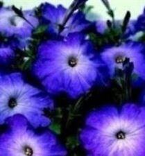 Petunia - Merlin Blue Morn - 50 Seeds