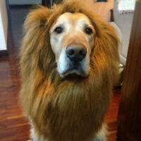 UK SELLER LARGE DOG LION MANE WIG HAIR CLOTHES COSTUME FUNNY WITH EARS