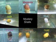 FAMILY OF (5) ASSORTED MYSTERY SNAILS live aquarium fish snail koi pond TFC