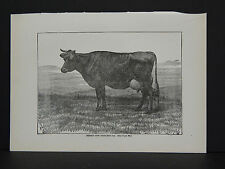 Cows, Cattle Jersey Cow Princess 2nd c.1890 #09