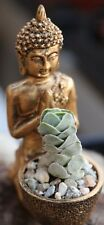 1 Stecklinge Crassula elfenbein Pagode seltene besondere Succulent Cactus Buddha Tempel