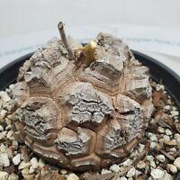 Exotic & Extremely Rare Dioscorea Elephantipes cactus cacti succulent plant #5