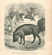 Sangliers de la Cochinchine Jardin des Plantes à Paris GRAVURE OLD PRINT 1878