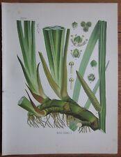 Koehler: Large Chromo Medicinal Plants Calamus Sweet Flag - 1887
