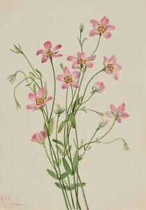 "Mary Vaux Walcott : ""Saltmarsh Rosegentian"" (1926) — Giclee Fine Art Print"