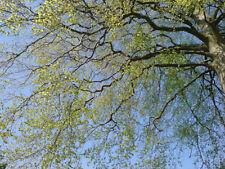 1 PLANT Fagus sylvatica FAGGIO SELVATICO FAGGIO EUROPEO tree