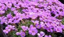 8 Large flowering Aubretia Audrey Purple shades perennial Plug Plants