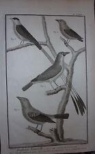 GRAVURE ORIGINALE CUIVRE MARTINET 1768 PIE GRIECHE MADAGASCAR TANGARA CARDINAL