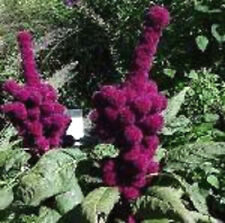 100 Elephant Head Amaranthus Gangeticus Flower Seeds