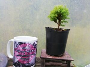 Bonsai starter mame dwarf chamaecyparis plant Garden
