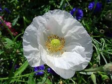 Coquelicot Blanc 300 ( white poppy ) graines frescas