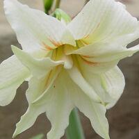 100pcs mischte Hippeastrum Striatum Samen Amaryllis Blumen Pflanzen Prof N3H3