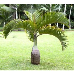 "Hyophorbe lagenicaulis 4"" pot 'Bottle' Palm"" Palm Tree Live Tropical Rare"