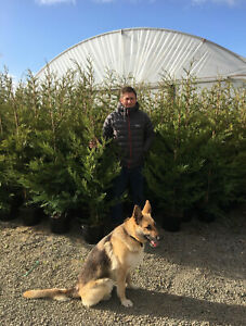 PALLET 10X 6FT EXTRA LARGE GREEN LEYLANDII INSTANT HEDGING TREES - 10L POTTED