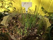 Chinese  Chives ~Organic Heirloom 50 Seeds ~ 韭菜~ Fresh Picked