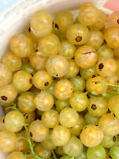 20 White Currant Seeds -USA GROWN