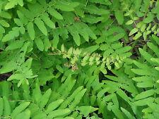 Royal Fern 6 Plants in 3-1/2 inch Pots