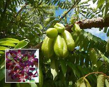 Selten • Gurken-Baum • 10 Samen/seeds •  Averrhoa bilimbi • essbare Früchte