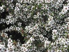 Leptospermum scoparium  -Manuka 20+ seeds