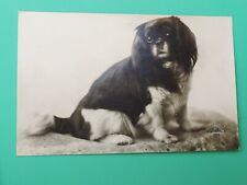 Antique photo postcard Japanese Chin Cavalier King Charles Spaniel Pekingese dog