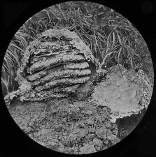 Glass Magic Lantern Slide A WASP NEST C1890 NATURE INSECT