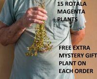 15 Rotala Magenta Macaranda plants aquarium planted tank aquascaping fish tank