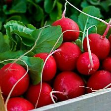 Spring Radish Early Red Seeds Organically Grown Heirloom Vegetable NON GMO