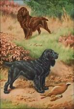 Field Spaniel Dogs, Rabbit Hunting by Walter Weber, vintage print authentic 1958