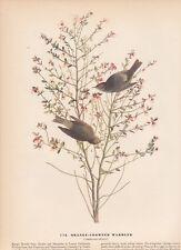 """1942 Vintage AUDUBON BIRDS #178 """"ORANGE CROWNED WARBLER"""" Color Art Plate Litho"""