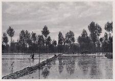 D4164 Semina della risaia - Stampa d'epoca - 1939 vintage print