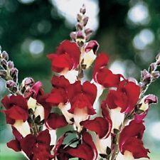 30+ Antirrhinum Night & Day Snapdragon Flower Seeds / Annual