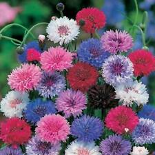 100 Cornflower Flower Seeds 5 Kinds Centaurea Home Garden Potten Beautyful Plant