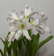 Fragrant Amaryllis Bulb, Pink Striped Trumpet Lily, Crinum Latifolium 西南文殊兰