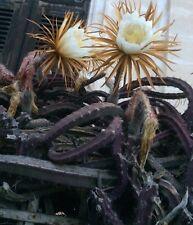 Selenicereus grandiflorus/Queen of the Night/Vanilla Cactus cuttings
