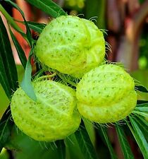 Hairy Balls, Gomphocarpus physocarpa, 15 seeds, Family Jewels, Monarch garden