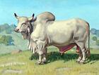 Framed canvas art print Giclee Brahman Bull