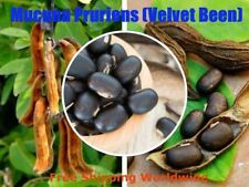 Mucuna pruriens-Velvet Bean seeds Tropical been plant for Healthy Life 100% new