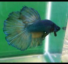 Live Betta Fish Male blue sea yellow beard yellow Halfmoon HM 0081