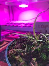 Drosera Regia 10 SEEDS King Sundew Carnivorous Plant