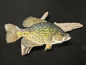 """13"""" Crappie mount.  Very nice, clean"""