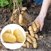 Russische Bananen Fingerling Kartoffel Samen Bio Samen Gemüse 100pcs / Beut O3G6