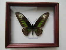 Butterfly Trogonoptera brookiana in frame