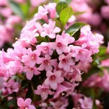 50 OLD FASHIONED WEIGELA Florida Bush Shrub Flower Seeds + Gift & Comb S/H