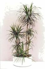 Seeds flowers Dracaena draco rommed originaseed weightl from Ukraine