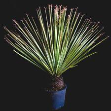 DASYLIRION SERRATIFOLIUM Dasylirio 1 pianta vaso 25 cm succulent cactus yucca