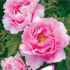 FD692 Peony Seed 6 Peony Flower Seeds Chinese Fragrant Huge Pink Popular Flower✿