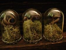 3 TINY TERRARIUM GLASS DOME BOTTLES miniature taxidermy bell jars DRIED VINE lot