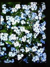 30 x Vergißmeinnicht -blau+rosa- Jungpflanzen aus Biogarten